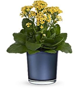 Golden_Morning_Plant_sm