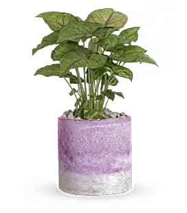 Lavender_Frost_Plant_sm